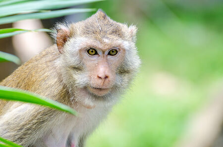 Pig-Tailed Macaque (Macaca Nemestring) photo