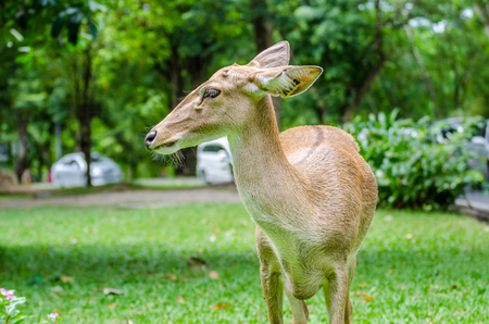 deer spot: White-tailed deer standing in a grassy field