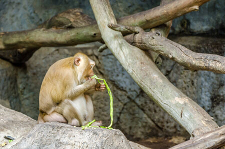Pig-Tailed Macaque (Macaca Nemestring) eating on the rock photo