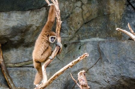 Gibbon climbing the tree photo