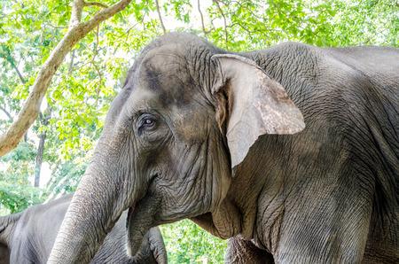 thailand symbol: Wild Elephant in Thailand, Symbol of nation Stock Photo
