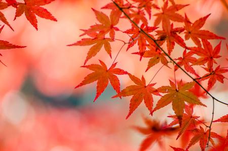 colorful leaves: Colorful Autumn Leaf Season in Japan