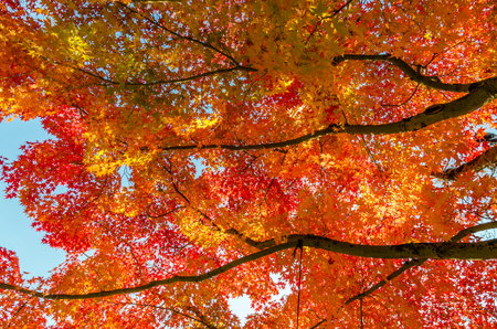 fall of the leaves: Colorful Autumn Leaf Season in Japan