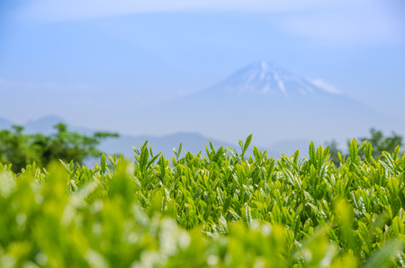 japanese tea garden: Japanese green tea field in shizuoka, Japan