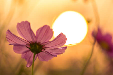 cosmos flower: Cosmos flower and sunrise background Stock Photo