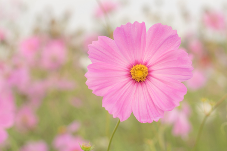 cosmos flower: Cosmos flower in the field with blurred background