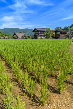 shirakawago: Paddy field in Shirakawa-go village
