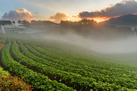 Strawberry farm at Doi Angkhang, Chiangmai, Thailand