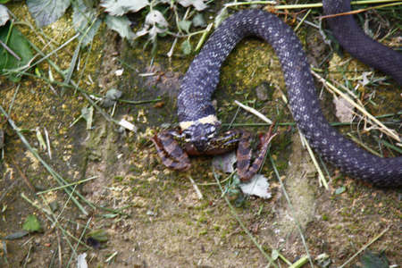 snake eating a frog Stock Photo - 11023714