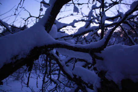 branches of trees covered with snow photo