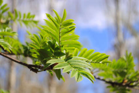 green leaves of a mountain ash