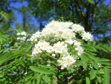 bloom of red mountain ash in spring