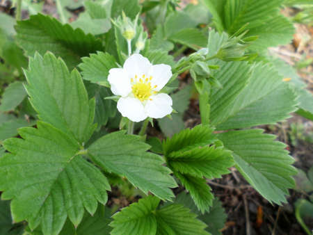 strawberry flowering in May