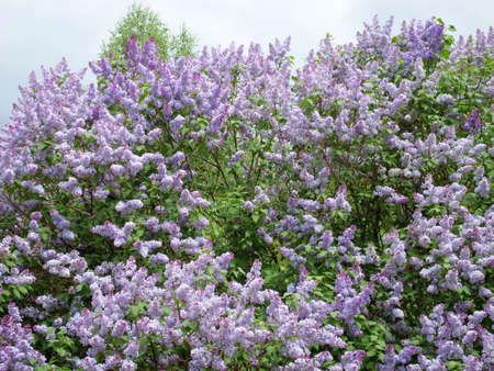 lilac in the spring in late May