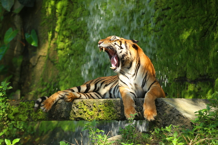 The Indochinese tiger (Panthera tigris corbetti) is a tiger subspecies occurring in Myanmar, Thailand, Lao, Viet Nam, Cambodia and southwestern China. It is listed as Endangered on the IUCN Red List Stock Photo