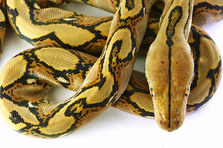 Wild snake Python beautiful reptile. Selective focus and toned image. Stock Photo