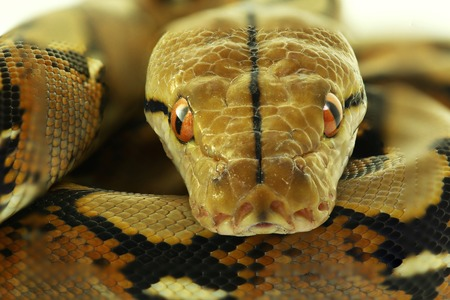 Wild snake 'Python' beautiful reptile. Selective focus and toned image. Reklamní fotografie