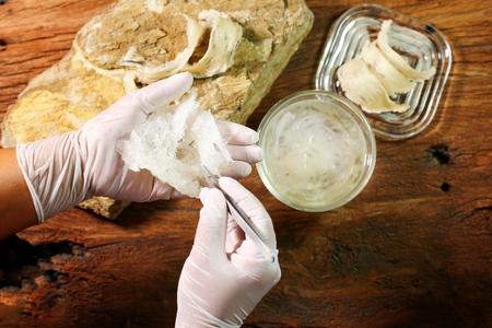 Le nid d'Edible-Nest Swiftlet, matériaux bruts de nid d'oiseau comestibles pour la médecine traditionnelle chinoise. La soupe au nid comestible est populaire à Hong Kong, à Taïwan, en Chine et en Asie du Sud-Est. Mise au point sélective et espace libre pour le texte. Nid d'oiseau comestible sur fond blanc.