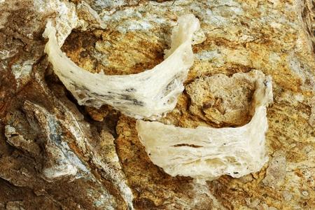 Le nid de Swiftlet à nid comestible, matériel de nid d'oiseau comestible brut pour la médecine traditionnelle chinoise. La soupe aux nids comestibles est populaire à Hong Kong, à Taiwan, en Chine et en Asie du Sud-Est. Mise au point sélective. Banque d'images