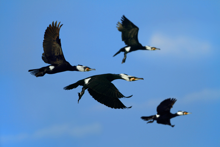 Great cormorant flying in the blue sky, Selective focus.