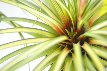 The beautiful succulent is a species in the genus Bromeliad. Bromeliads for decoration garden on white background, selective focus.