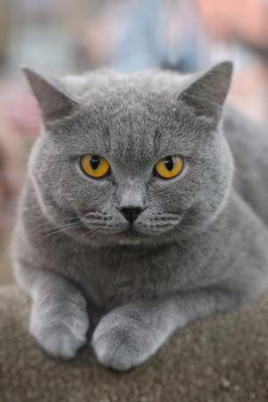 Mooie kleur Amerikaanse korthaar kat zittend op de papieren stoel. Schattige dieren en huisdierenconcept, selectieve focus en gratis kopieerruimte.