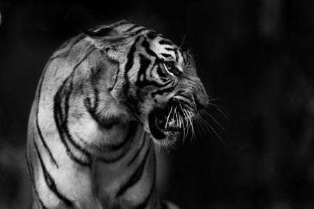 Movimiento borroso del tigre de Indochina (Panthera tigris corbetti). Está catalogado como en peligro en la Lista Roja de la UICN. Tiger está enojado, enfoque selectivo y espacio libre para texto. Imagen en blanco y negro. Foto de archivo