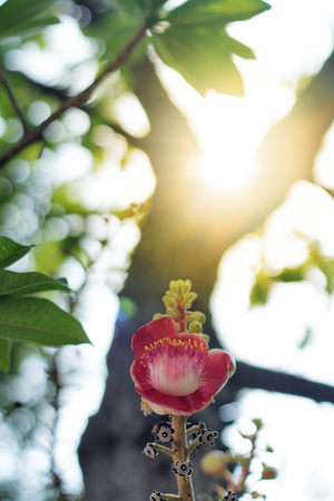 Beautiful blooming Cannonball flowers on the tree. Cannonball flowers of Cannonball Tree or Sal Tree in the temple, Religion and culture background ideas concept. Selective focus and free copy space.