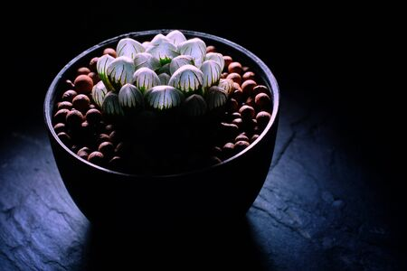 Still life photography of succulent, Pot of Haworthia variegated on black background, succulent pot plant for decorative in house, selective focus and free space for text. Park and garden concept.