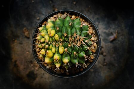 Still life photography of Variegated Cactus, Pot of cactus on table, succulent pot plant for decorative in house, shoot in studio, selective focus and free space for text. Park and garden concept. Stockfoto
