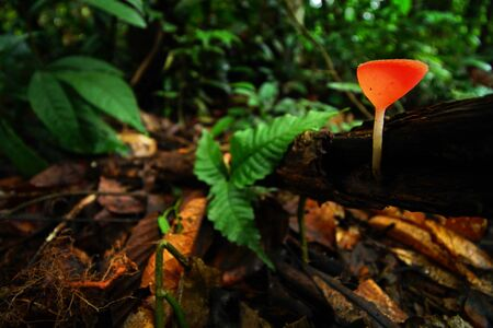The red fungi cup in the forest. Selective focus of fungi cup on forest background.