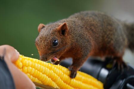 The Red squirrel eating sweet corn.