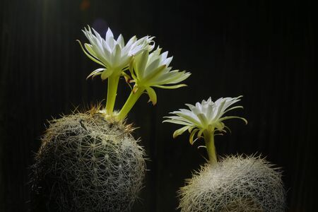 Still life photography of Discocactus araneispinus, Pot of cactus on black background, succulent pot plant for decorative in house, shoot in studio, free space for text.