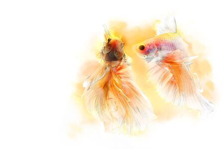 Both of Betta fish or siamese fighting fish swimming and movement in aquarium crystal tank on white background, it have gold color. ART and pet concept in water color effect.
