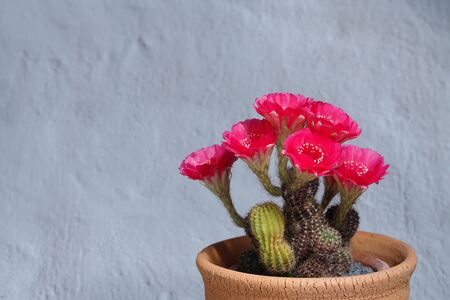 Still life photography of Cactus, Pot of lobivia on white wall