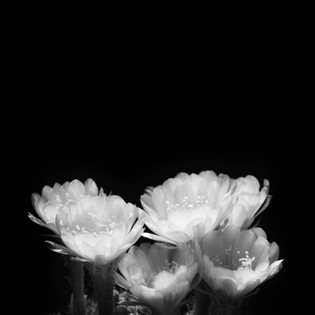 Black and white of cactus flowers with space foe background. Фото со стока