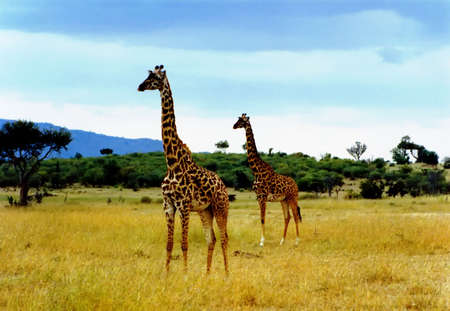 Giraffes in the Savanna in Afrika Stock Photo
