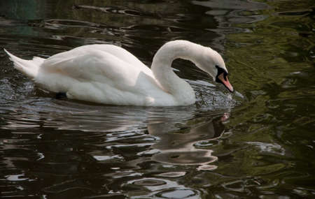 Swan on water close-up in Canal of Bruges Flanders