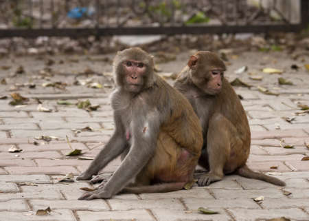 Two monkeys taking care of each other.