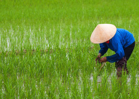 Vietnam Quang Binh Province - March 2012: planting rice in empty patches of paddy. Stock fotó