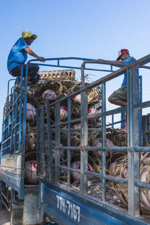 Central Vietnam - March 2012: Workers load up pigs, each stuffed in a basket-prison, and stack them one ontop the other.