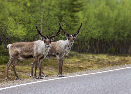 Two reindeer ready to cross the road in Lapland  Two reindeer seems to be copies of each other when they look at the photographer before crossing the road  Stock Photo