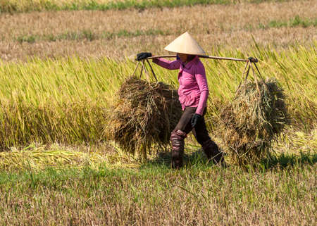 QUI NHON, VIETNAM - CIRCA MARCH 2012  Woman in pink shirt carries two heaps of rice straw on shoulder pole  Close-up of lone figure working hard in the rice field