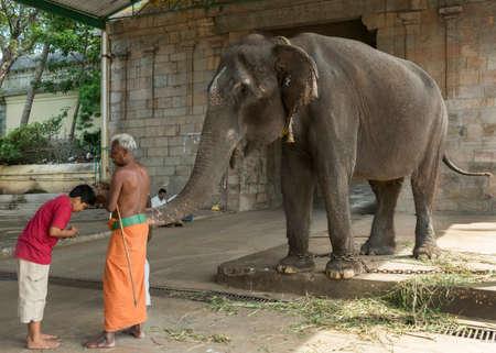 Kumbakonam, INDE - 12 octobre 2013: Mahout aide l'éléphant dans sa bénédiction rituelle au temple Mahalingeswarar .. Jeune adolescent reçoit la trompe de l'éléphant sur sa tête. Grisonnants Mahout avec dhoti orange et torse nu.