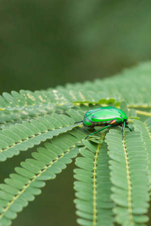 Dindigul, India - October 22, 2013: Closeup of Indian Jewel beetle or Ponvandu. The insect, with its shiny green coat, sits on green leaves.