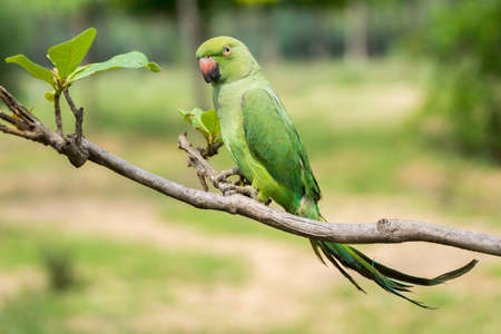 Dindigul, India - October 23, 2013: A green parrot is left out of its cage. Ambulant future telling merchants use the parrot to flip cards supposedly giving clues about the future of the client. Editorial