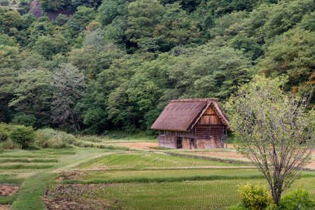 joined hands: Shirakawago, Japan - September 23, 2016: Brown barn with the particular joined hands roof stands alone in rice paddy against green forest.
