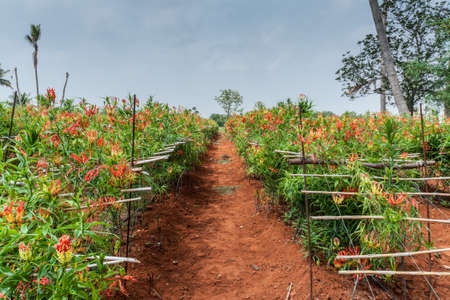 fire flower: Dindigul, India - October 24, 2013: View along path through field of Tiger Claw medicinal plants and their vibrant red flowers. Also known as Glory lily or Fire Flower. Red dirt and blue skies create colorful photo.