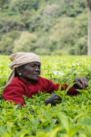 pluck: Nilgiri Hills, India - October 25, 2013: Short black-faced older woman only has shoulder and head above field of tea shrubs while she picks tea leaves. Shades of green, red sweater, beige head gear.