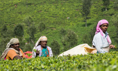 Nilgiri Hills, India - October 25, 2013: Three middle aged women with head gear pick tea leaves while half submerged in field of tea shrubs. Shades of green, colorful clothing.